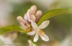 It is time to change... (frederic.gombert) Tags: flowers light summer sun sunlight white flower color macro tree green spring lemon bokeh macrodreams