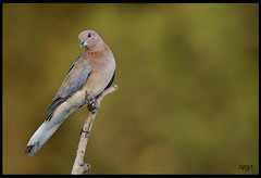 DOVE (Arshad Aashraf) Tags: pakistan colors beautiful beauty birds ilovenature asia bokeh images birdseyeview quetta nikond5 birdsofpakistan nikkor600mmf4 wildlifephotographey birdslover birdsphotography ilovewildlife arshadashraf feathersdetails