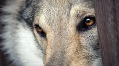The silent and kind. (Filidea) Tags: portrait dog closeup eyes moody hund nahaufnahme ruhe czechoslovakianwolfdog tschechoslowakischerwolfshund nikond7100 gelbbrauneaugen