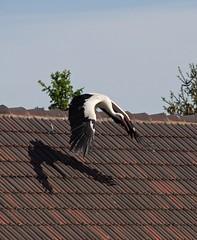 Start / takeoff (fotio14) Tags: natur sachsen dach tier vogel storch whitestork ciconiaciconia weisstorch
