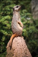 5826 (simonereger) Tags: zoo zooleipzig ausflug trip animal tier erdmnnchen