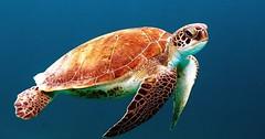 """Die Schildkröte. Die Schildkröten. Genauer: Die Meeresschildkröte. Die Meeresschildkröten. • <a style=""""font-size:0.8em;"""" href=""""http://www.flickr.com/photos/42554185@N00/27178378925/"""" target=""""_blank"""">View on Flickr</a>"""