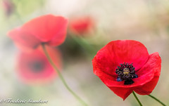 Remember... (frederic.gombert) Tags: flowers light red summer sun sunlight plant flower macro garden spring nikon flickr bokeh award poppy poppies macrodreams