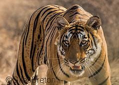 TIG01760GB_1 (giles.breton) Tags: india tiger tigers endangered ranthambhore panthera threatened andyrouse ranthambhorenationalpark pantheratigristigris royalbengaltiger dickysingh