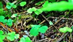 before jump (friedrichfrank1966) Tags: rain animal forest tiere outdoor frog wald bltter frosch regen