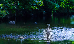 Fishing in the Dodder (Steve-h) Tags: nature natur natura naturaleza bird birds heron greatgreyheron outoors light shade water river riverdodder dodder trees rapids stones ripples shallow shallows green grey blue orange colour colours wild wildlife hunter fauna dublin ireland summer may 2016 digital exposure ef ef100400mm eos eos5dmkii canon camera lens steveh happyslidersunday hss adobe photoshop lightroom flicker flickr europa europe eu allrightsreserved