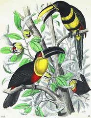 """""""The Toucan"""" from """"Book of the World"""" Edited by Dr. Gaspey. Philadelphia: Weik & Wieck, 1852. Volume 1 (lhboudreau) Tags: green bird art nature leaves birds illustration vintage watercolor print book leaf toucan etching branch drawing antique branches 19thcentury illustrations drawings books naturalhistory engraving prints watercolors handcolored lithography antiquarian bookart engravings nineteenthcentury hardcover lithograph toucans etchings artprint handcolor firstedition 1852 volume1 artprints illustratedbooks lithographs illustratedbook plate44 firstvolume thetoucan handcoloredprints hardcovers hardcoverbooks hardcoverbook steelengraving steelengravings classicillustration classicillustrators handcoloredengraving coloredprint gaspey coloredprints americanprinting handcoloredengravings coloredengraving bookoftheworld thomasgaspey drgaspey drthomasgaspey coloredengravings weikwieck charleswieck bookoftheworld1852 handcoloredlithography johnweik"""