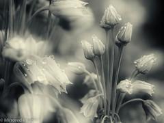 After the Rain (Mirrored-Images) Tags: blackandwhite bw flower macro monochrome closeup garden mono flora bokeh doubleexposure raindrops waterdrops nectaroscordumsiculum sicilianhoneygarlic silverefexpro alliumnectaracsardium