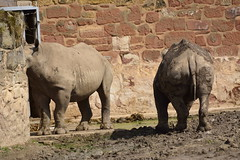 Chester Zoo (406) (rs1979) Tags: zoo chester rhino blackrhino chesterzoo