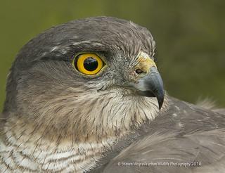 Sparrowhawk Acipiter nisus)