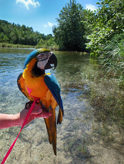 Colorful tourist (flowerweaver) Tags: river parrot colorful tourist blueandgoldmacaw summer animal bird notyoureverydaytourist