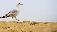 A walk by the sea (andzwe) Tags: beach strand walking scheveningen seagull noordzee denhaag northsea meeuw awalkbythesea