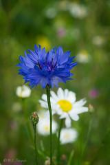 Kornblume (mar_lies1107) Tags: flower blau blte kornblume schrfentiefe