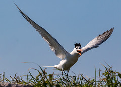 Celebration! (fins'n'feathers) Tags: birds flying royaltern landing tern shouting arriving sclowcountry