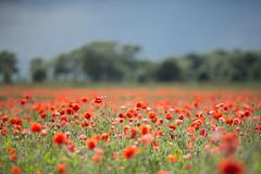 Backlit Poppies (jimoftheday) Tags: england field village unitedkingdom poppy gb canonef135mmf2lusm netherpoppleton