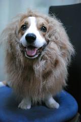 EIN in lion costume (luckyno3) Tags: dog animal costume lion pembrokewelshcorgi