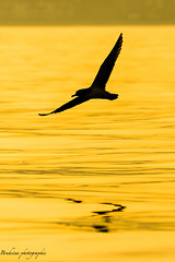 The golden sea. (Bouhsina Photography) Tags: sea summer mer reflection bird beach nature animal silhouette jaune canon wow gold golden or morocco maroc vol t plage oiseau ttouan masterpiece mouette mediteranne tetuan 2016 exterieur marinasmir bouhsina 7dii ef7020028ii bouhsinaphotography