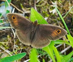 Meadow Brown - male (mishko2007) Tags: theburren 105mmf28