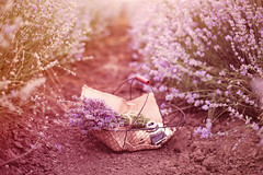 Basket with lavender bouquet, old antique camera and ball with twine. Lavender flowers between rows of lavender field. Purple tinting, sunny hazy, haze (sevda.stancheva) Tags: camera old flowers blue summer plant france flower nature beautiful beauty field closeup garden french relax landscape countryside flora europe basket purple natural blossom antique vibrant background magenta violet lavender lifestyle nobody fragrant bunch bloom lavander bouquet provence aromatic lavande making herb herbal scent fragrance aroma blooming aromatherapy lavandula lavandin