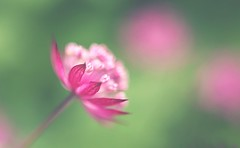 Pastels (purpleface) Tags: flower flowers macro sigma50mm28exdgmacro canon6d pink purple green bokeh closeup pollen