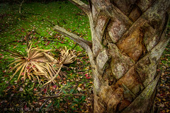 Live your life as if you were a palm tree. (MichaelSOwens) Tags: leaves florida palm trunk sabalpalmetto cabbagepalm fortclinchstatepark topazclean willowpondnaturetrail
