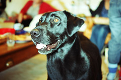 Expectancy (dolbinator1000) Tags: christmas dog black labrador