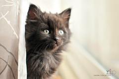 #34: Hanging out (Random Life Project) Tags: cats animals feline kitty kittens kitties ehs adoption shelteranimals fostering edmontonhumanesociety fosteranimal