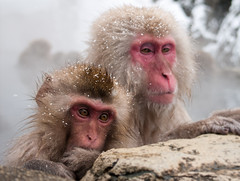 Merry Christmas from the snow monkeys! (c_c_clason) Tags: leica snow japan digilux2 onsen nagano shigakogen jigokudani naganoprefecture snowmonkey japanesemacaque leicadigilux japanesemacaques