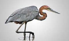 Goliath-heron_0952 (Peter Warne-Epping Forest) Tags: goliathheron