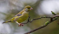 Male Greenfinch (Danny Gibson) Tags: green bird birds photography canal wildlife watching birding sigma finch finches greenfinch newry 50500mm canoneos7d dgpix