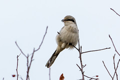 Northern Shrike (Lanius excubitor)
