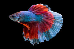 Betta (da nokkaew) Tags: pet fish black color eye nature water beauty swimming aquarium colorful background exotic tropical pace aquatic fighting betta isolate