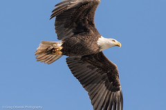 Close is good (greg obierek) Tags: bird nature canon eagle wildlife baldeagle maryland raptor haliaeetusleucocephalus birdofprey bif susquehannariver americanbaldeagle birdinflight avain ef500mmf4isl ef14xiii