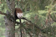 Mischievous Marten (Megan Lorenz) Tags: wild ontario canada nature wildlife algonquin marten provincialpark pinemarten wildanimals mlorenz meganlorenz