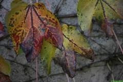 couleurs-2-feuilles (pepito2551) Tags: couleurs feuilles feuille canoneos400ddigital