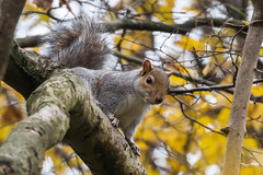 Grumpy Squirrel-5462 Explored (WendyCoops224) Tags: canon eos squirrel grumpy noisy explores 70d explored mywinter 70300mml localwoodland oliveswood ©wendycooper