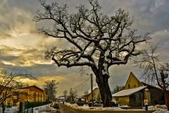 old oak (02) (Vlado Ferenčić) Tags: winter croatia nikkor18703545 oldoak nikond90 zaprešić lužnica