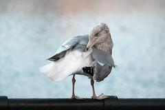 Seagull (ingehoogendoorn) Tags: bird birds seagull gull vogels meeuw meeuwen vogel zeemeeuw zeemeeuwen haagsemeeuw