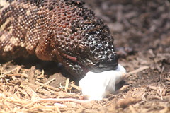 IMG_9581 (asokolik) Tags: buffalozoo mexicanbeadedlizard