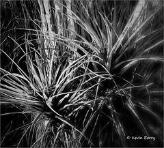 Bromeliads at sunrise (Kevin B Photo) Tags: blackandwhite florida fl bromeliads iphone kevinbarry bigcypressnationalpreserve