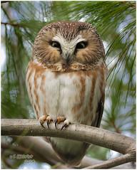 Saw-whet Owl (Steve Gilchrist) Tags:  ontario canada bird hamilton s raptor owl perched sg gilchrist sawwhet