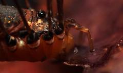 """""""Schwarzer Leiobunum"""" ♀ (Leiobunum sp. A/sp. novum) bei der Flüssigkeitsaufnahme, Crop (3:2 - 5:3) (Weinand Wildlife) Tags: macro water wasser arachnid drinking trinken daddylonglegs schuster arachnida schneider harvestman opiliones zimmermann hooiwagen granddaddylonglegs weberknecht spinnentier kanker faucheurs leiobunum faucheux phalangioidea opalangbein braunrückenkanker leiobunumspa schwarzerleiobunum leiobunumspnovum"""