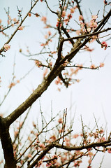 Winter beauty (Cheng Yuan Chieh) Tags: old travel red sky plant flower tree abandoned film nature colors analog 35mm canon vintage photography photo kodak sightseeing taiwan tourist explore analogue  range finder ql17 giii rf
