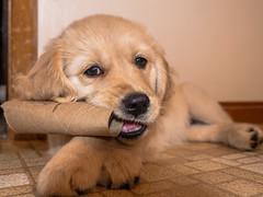 Freyja (claudiaulrikegoodall) Tags: dogs goldenretriever puppy retriever