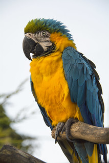 Blue - Gold Macaw Parrot