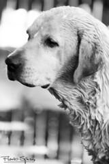 Brandon (FlavioSpezia) Tags: bw dog wet water animal mirror agua labrador retriever perro espejo baño mascota reflejos mojado lavado d7100