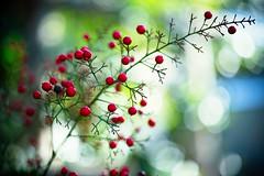 Winter Curve (moaan) Tags: light red plant japan fruit branch dof bokeh f14 dot 55mm kobe jp utata hyogo nandina 2015 nandinadomestica bokehballs canoneos5dmarkiii otus1455 zeissotus1455ze