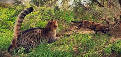 The chase. (Yonit Segal) Tags: trees pet cats nature animal cat chase chaser