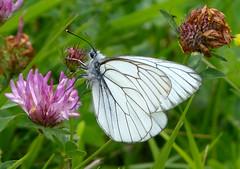 Black-veined White. Aporia crataegi. (gailhampshire) Tags: white female butterflies slovenia aporia crataegi blackveined taxonomy:binomial=aporiacrataegi