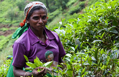Tea picking (dirk j slotboom) Tags: woman srilanka 2014 slotboom centralprovince teapicking ramboda dirkslotboom